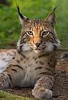 Lynx_lynx_poing.webp