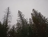 ponderosa pines.webp