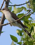 yellow billed cuckoo.webp