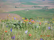 palouse prairie and farmshouses.JPG