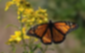 monarch.webp
