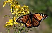 monarch.webp