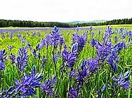 purple prairie.webp