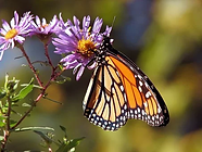 monarch and aster.webp