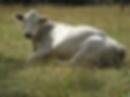 cow.webp