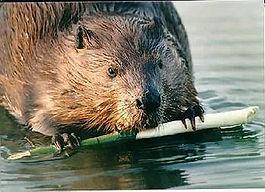 beaver3 clipart.jpg