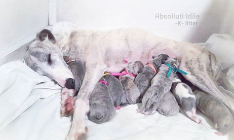 Whippet puppies!
