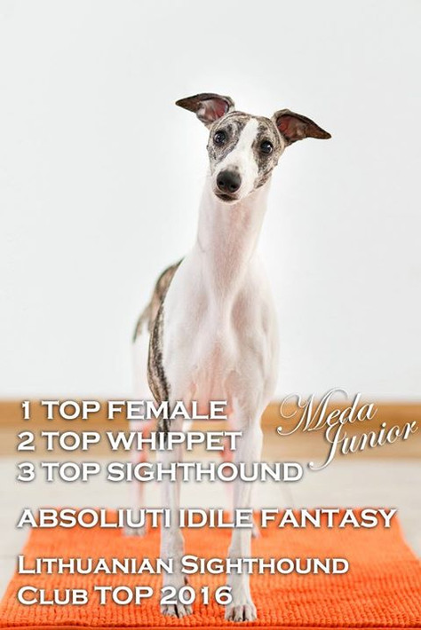 Whippet puppies plans for Summer 2017