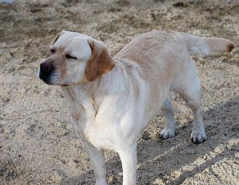Julsby Labradors and Labrador Puppies, Labrador Retrievers Southern California
