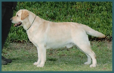 Loved By Julsby Labradors in Southern California