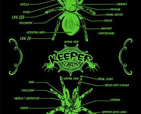 Tarantula Anatomy Poster (23 x 33 inch)