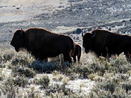 von Kühen und Büffeln