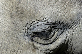 tearing-elephant-eye-nature-animal-wildl