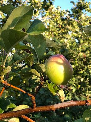 pommes et pluie.jpg