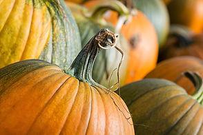Ambiance_automne_citrouilles_Verger_Labo
