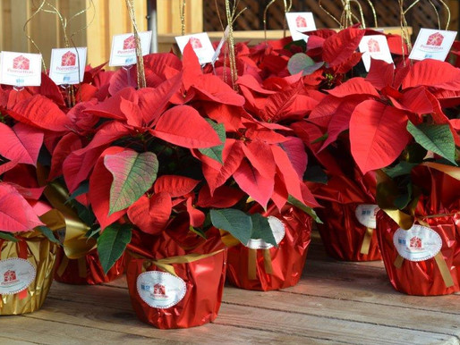 With AND without poinsettias, the annual campaign raised $100,232 for the Residence