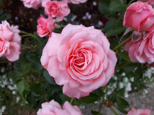 Roses in bloom @ Butchart Gardens