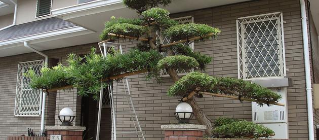 槙の木 剪定料金 ¥15,000  -横濱テック