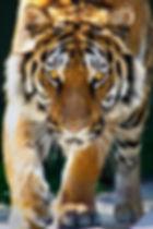 Tiger walking .jpg