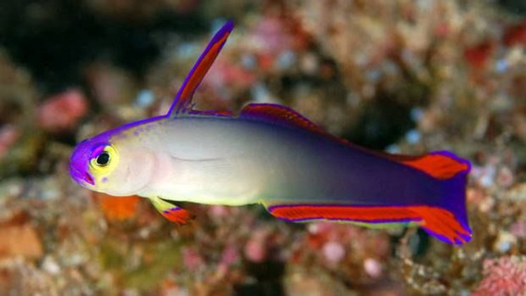 Flame or Purple Firefish Goby