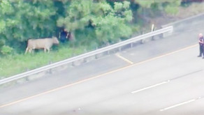 Traffic Backup After Cow Gets Loose On Texas Freeway