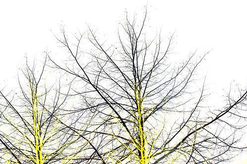 צמרת עצים שחור-לבן-צהוב
