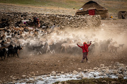 A Wakhi girl shepherding their flock