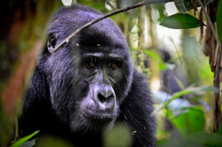 Gorillas in Bwindi NP, Uganda