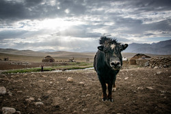 A yak from the Wakhan Corridor