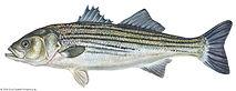 Striped-bass.jpg