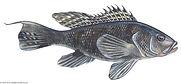 Black-sea-bass (1).jpg