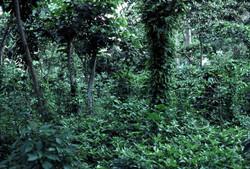 Shade_grown_coffee_in_Guatemala