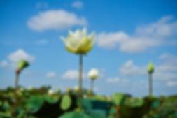 lotus-2693939_1920.jpg