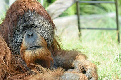 Orangutanes Borneo.jpeg