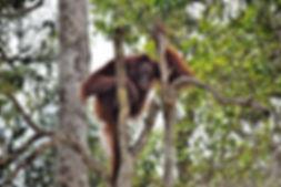 Visita orangutanes Borneo.jpeg