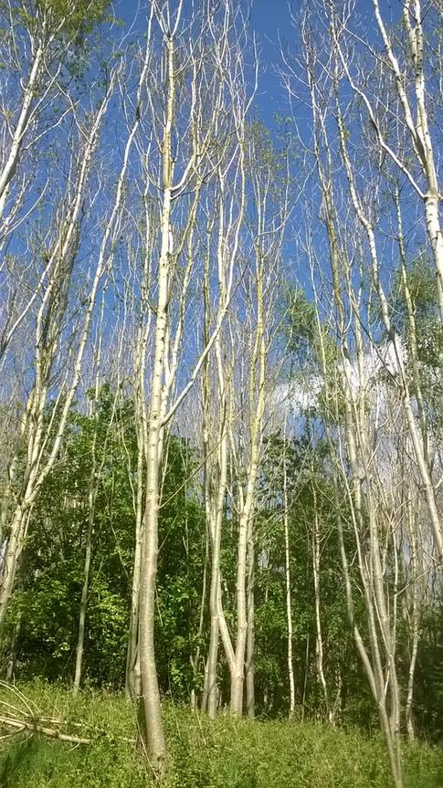 tree tops Netherwood