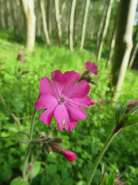 Wild flower Netherwood