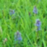 Church Graveyard Wild Flower. Ajuga Rept