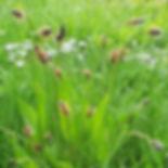 Church Graveyard Wild Flower. Plantago l
