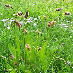 Church Graveyard Wild Flower. Plantago l
