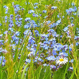Church Graveyard Wild Flower. Forget-me-