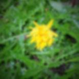 Church Graveyard Wild Flower. Hypochaeri