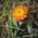 Church Graveyard Wild Flower. Pilosella