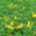 Church Graveyard Wild Flower. Lotus corn