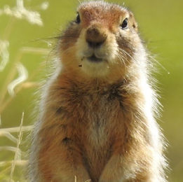 Arctic Ground Squirrel in Denali.Denali National Park hiking tours
