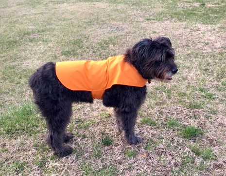 Pua (flower in Hawaiian) is a Bouvier des Flandres and  makes sure Barbara Sterne gets walks every day, year round.