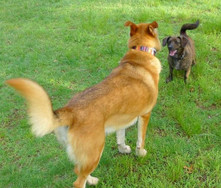 Leila is a rescue dachshund mix who lives with Tia Smith.  Dora is her best friend, a shephard collie mix.