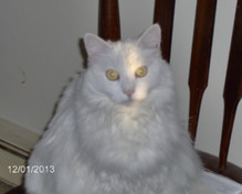 """Say Hello to Nadia, a precocious 15-year old English-standard Persian.  And she can be a queen.  You know, """"Yes, your Majesty."""""""
