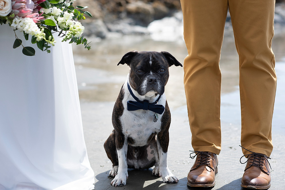 dog wearing bow tie at Tofino beach wedding. Photographed by Kaitlyn Shea