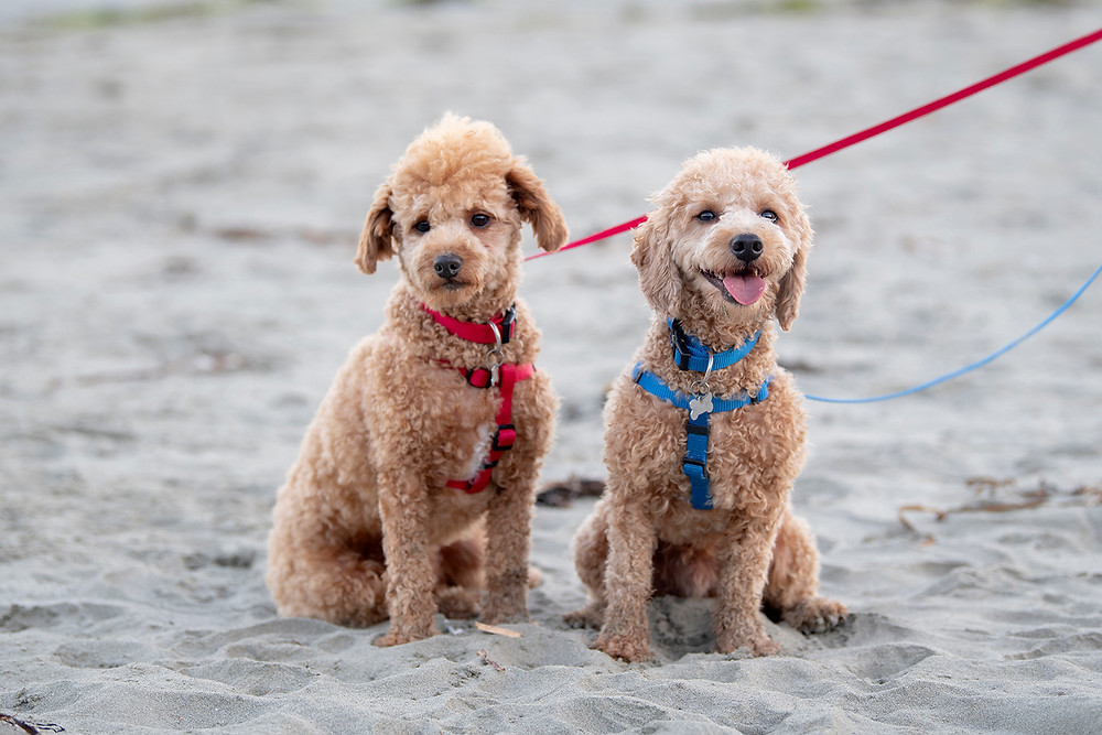 dogs smiling for the camera during family pictures in Tofino | Photographed by Kaitlyn Shea